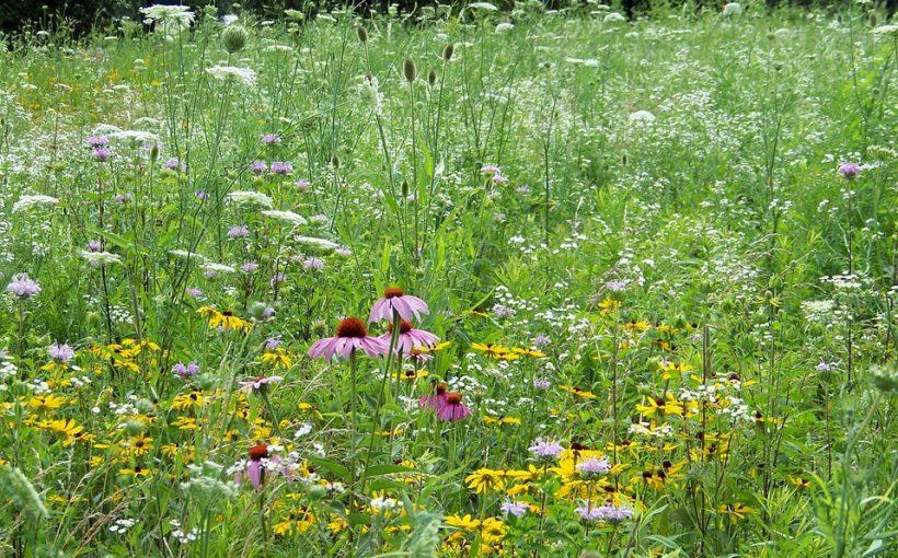 zoltlica drobnokwiatowa